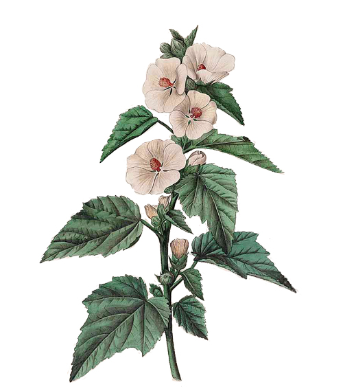 Althaea Officinalis Instant Liberation